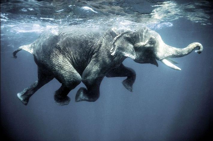 SwimmingElephant