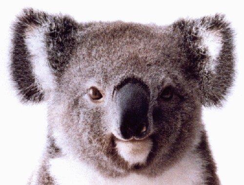 Koala002_2